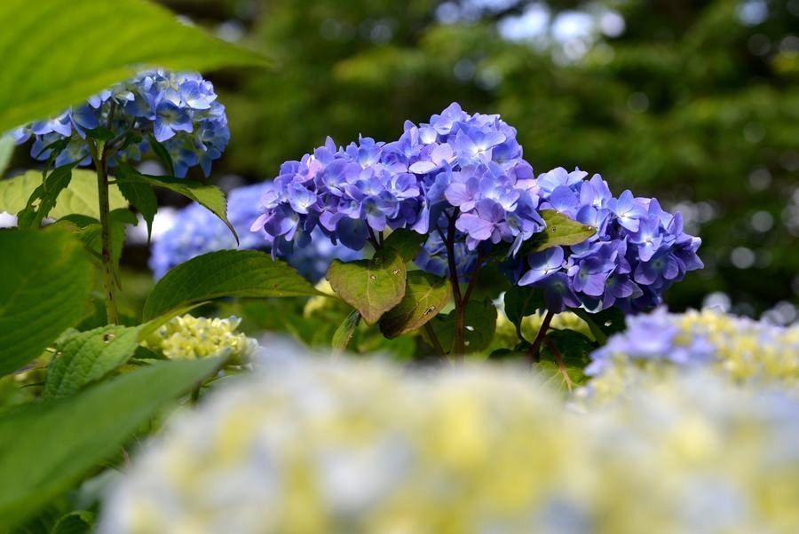 初 紫陽花-3