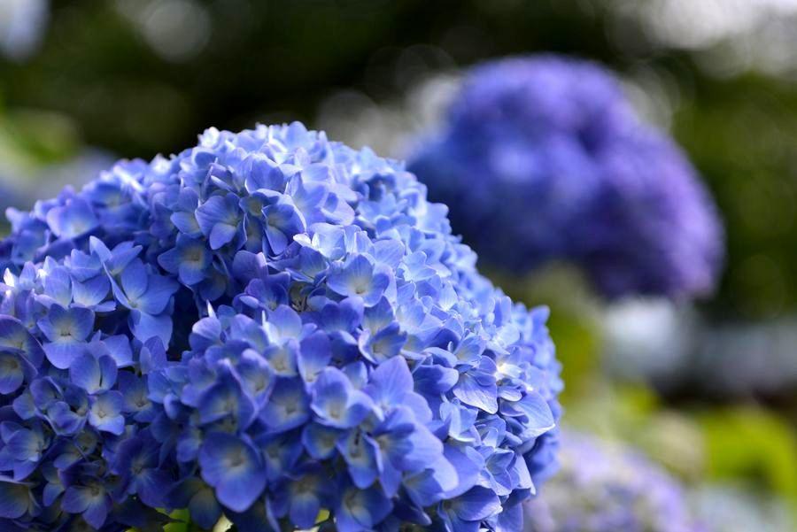 初 紫陽花-4