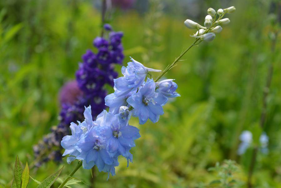 魚沼の里の花-8