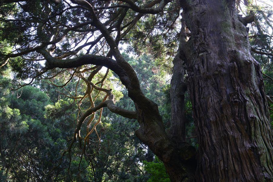 二本の大杉-1