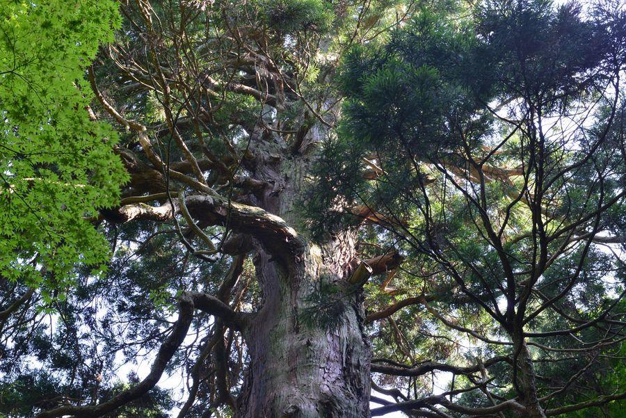 二本の大杉-2
