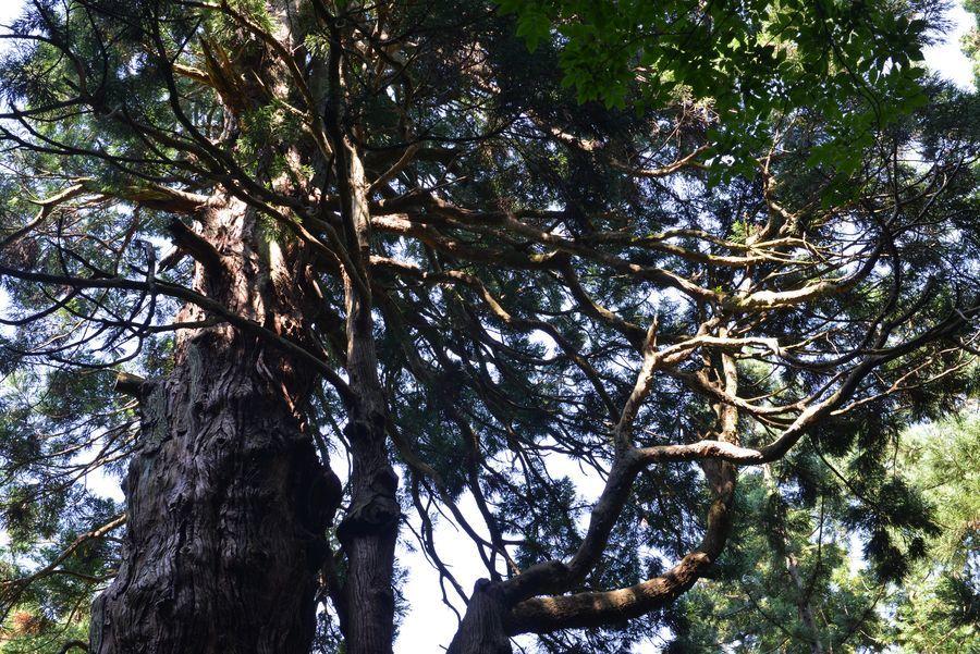 二本の大杉-3