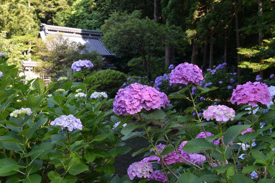 種月寺 紫陽花と-2