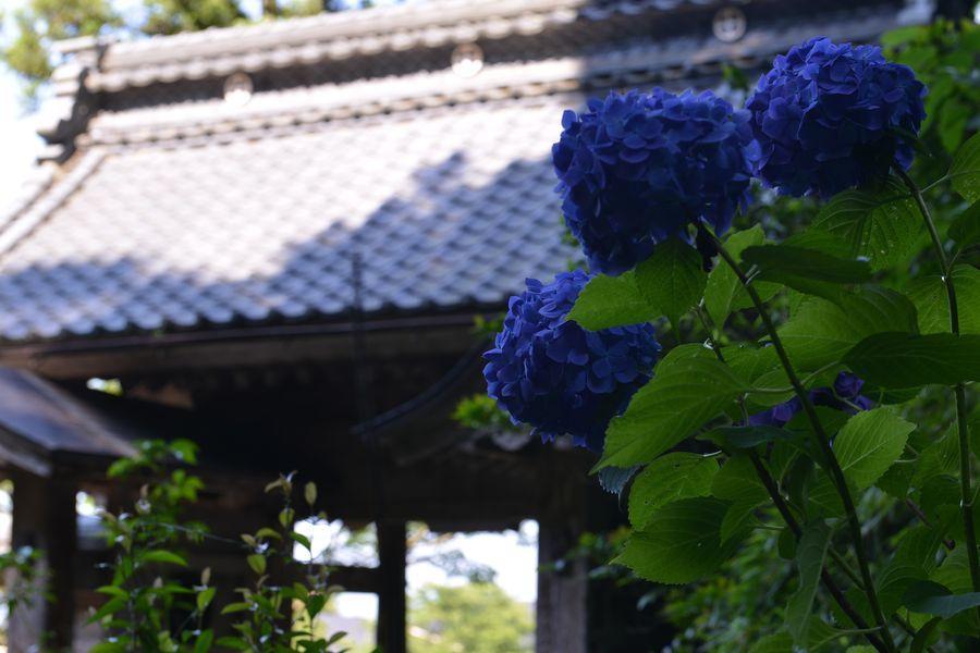 種月寺 紫陽花と-3