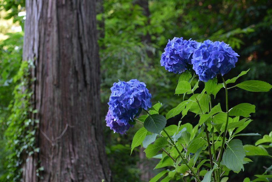 種月寺 紫陽花と-4