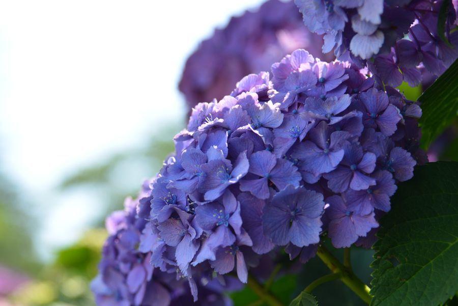 日射しの中の紫陽花-1