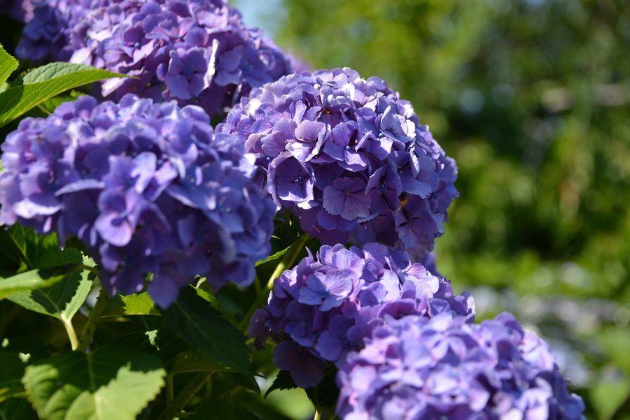 日射しの中の紫陽花-2