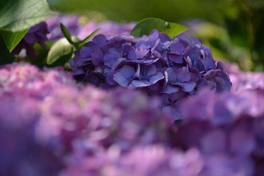 日射しの中の紫陽花-4