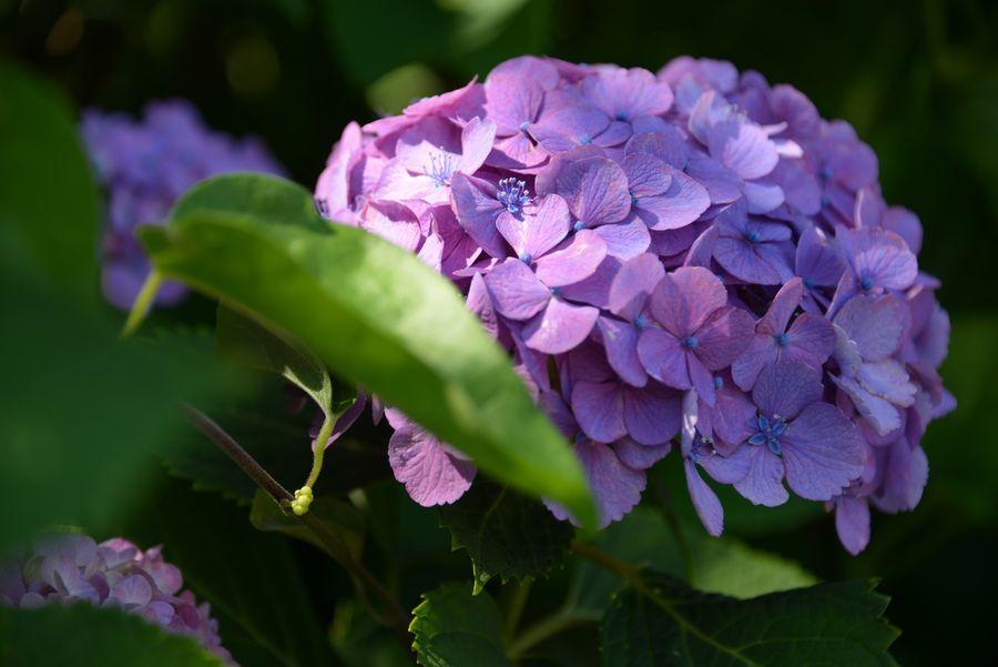 日射しの中の紫陽花-5