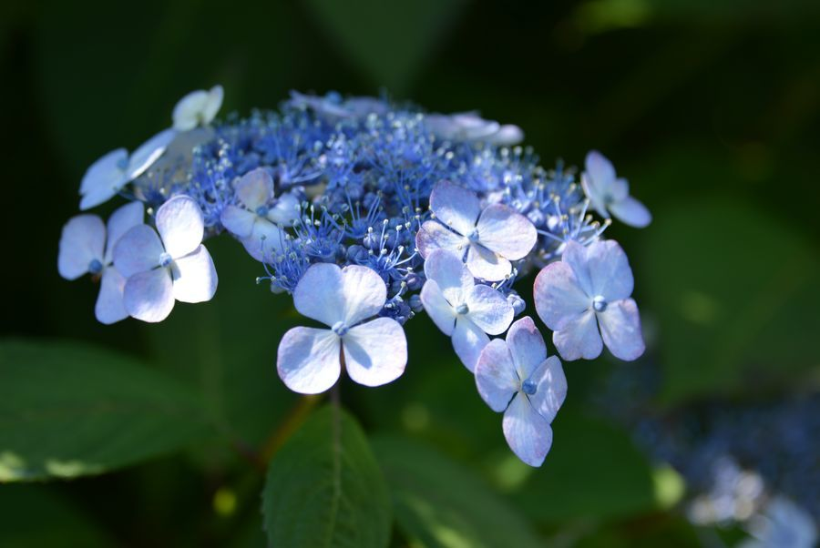 日射しの中の紫陽花-6