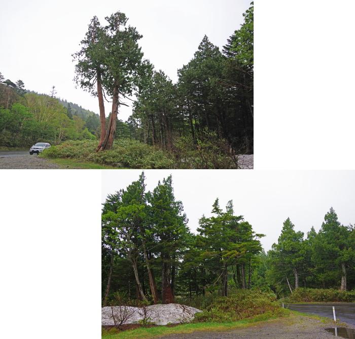 クロベの森