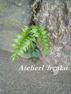 170618氷川神社シダの葉