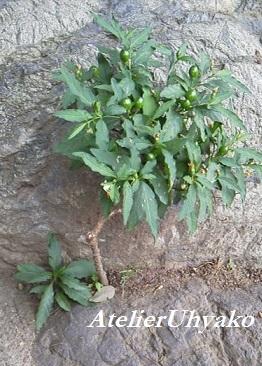 170618氷川神社実のなる小さな木