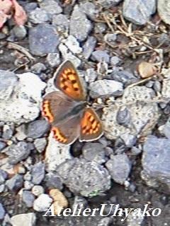 170614有心川沿いの蝶