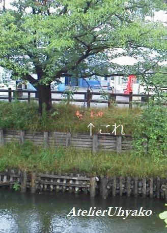 170628有心個展・川沿い不思議な桜