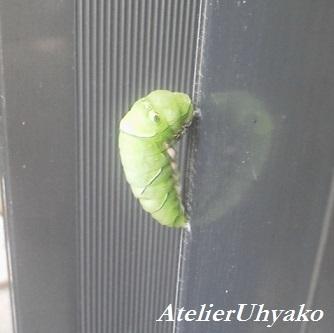 170630有心・門扉のサナギになる寸前の幼虫