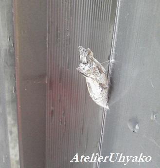 170701有心門扉のサナギかほこ無事サナギになる