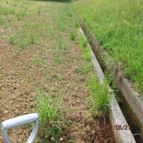 コンクリート堰堤脇の草刈り1