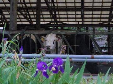 須藤牧場牛舎