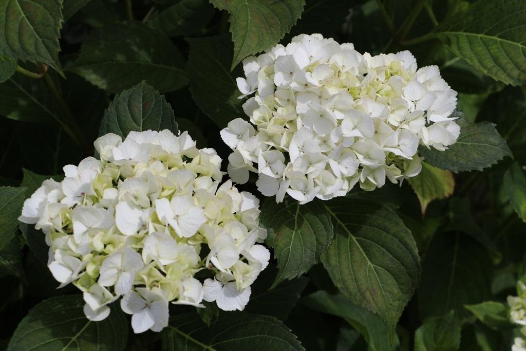 きれいなのは、街角の花さんばかりか_2