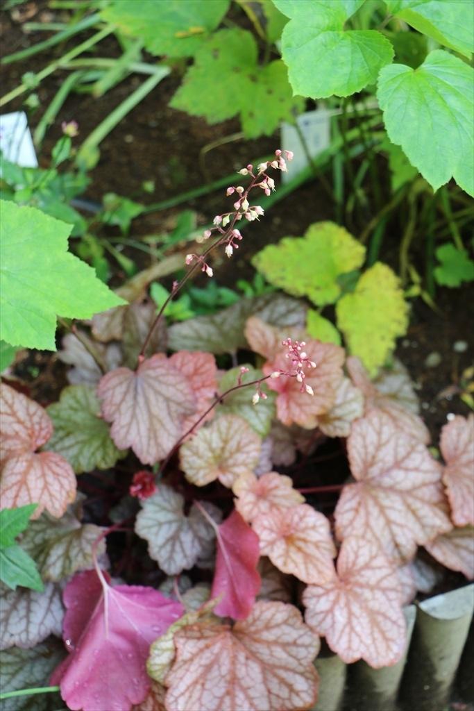 明月院に咲いていたその他の花_2