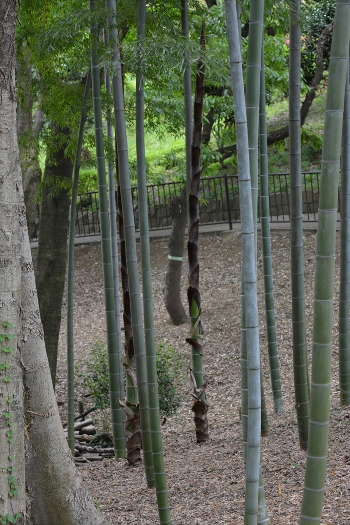 今年の竹も大きく伸びてきた