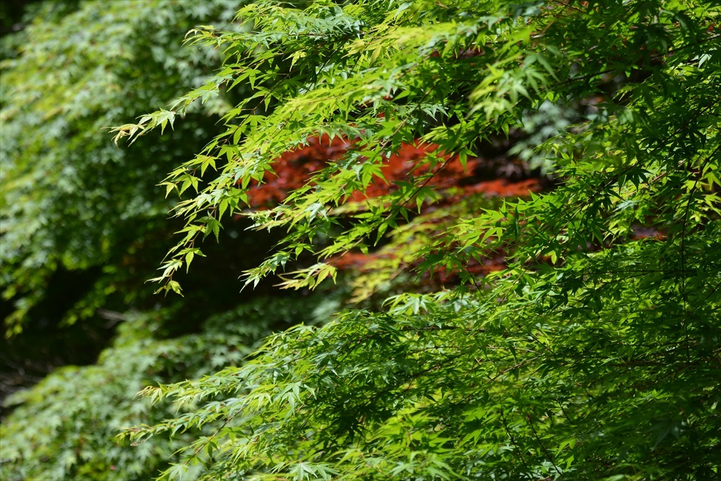 楓もきれい_3