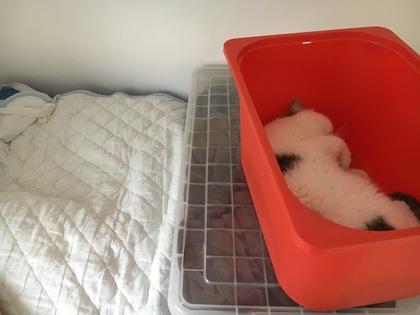 いつもの寝床は左側のシーツの上