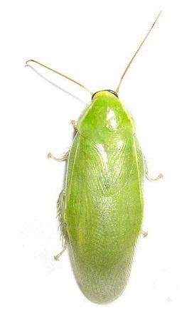 hgミドリバナナゴキブリ