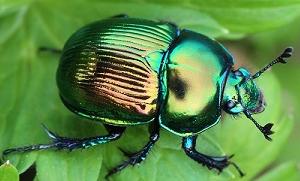 オオセンチコガネGeotrupes auratus auratus