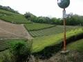 170503鷲峯山からの下り、尾根道の茶畑