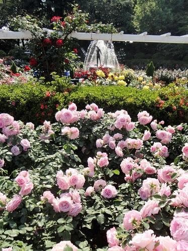 20170520公園バラ