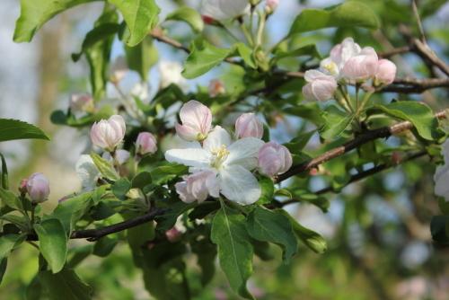 リンゴの花?
