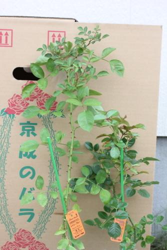 京成のバラ苗