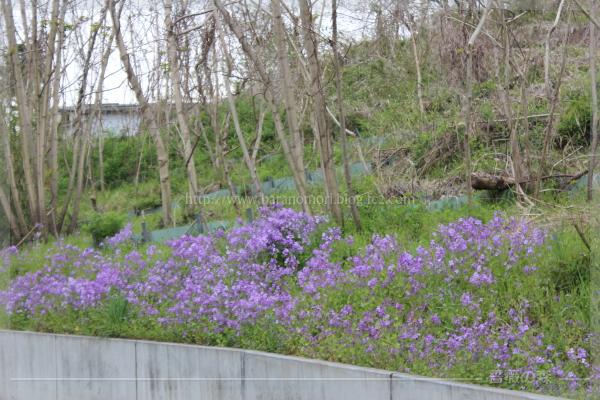 紫花菜 ムラサキハナナ 20170428