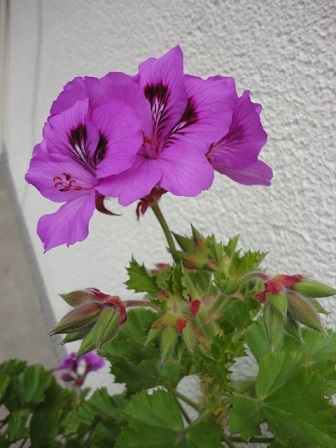 近所の花ベラルゴニューム