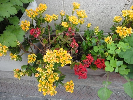 近所の花①