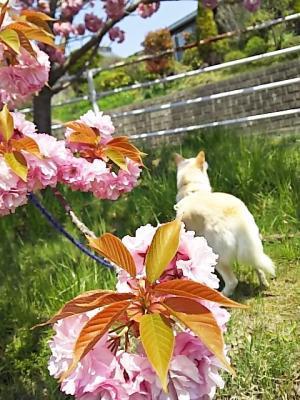 八重桜 (3)
