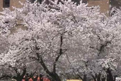 鶴舞公園の桜17