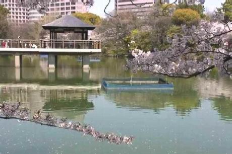 鶴舞公園の桜2