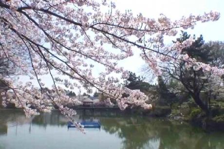 鶴舞公園の桜12