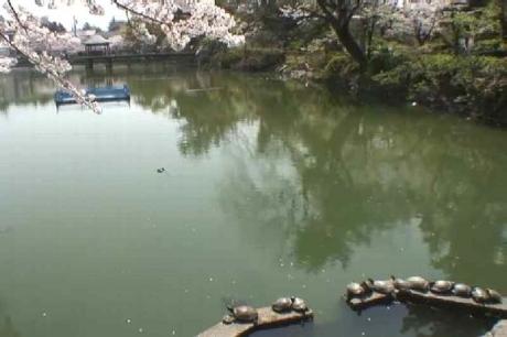 鶴舞公園の桜11