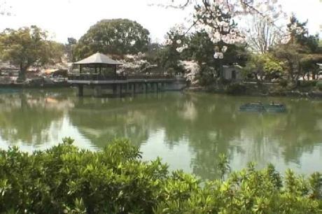 鶴舞公園の桜7