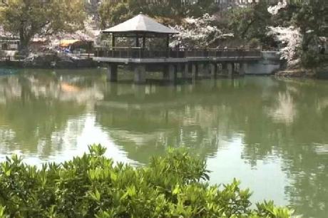 鶴舞公園の桜6