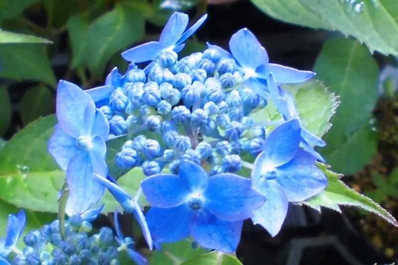 CIMG1191山アジサイ藍姫