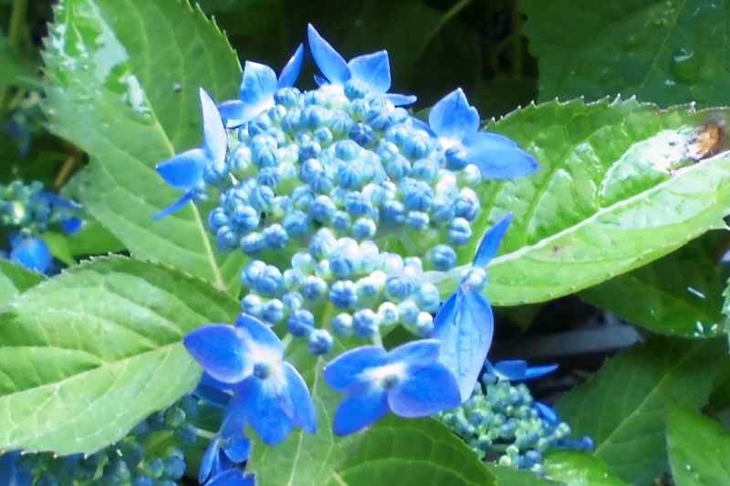 CIMG1190山アジサイ藍姫
