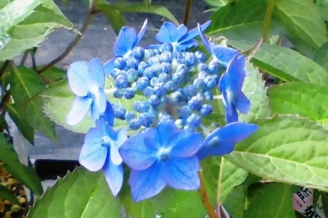 CIMG1192山アジサイ藍姫