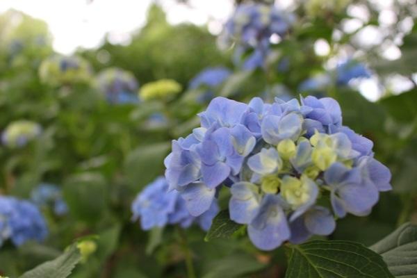 010紫陽花