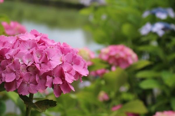 016紫陽花