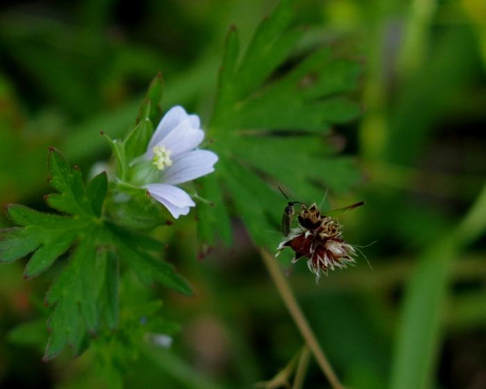アメリカフウロ 2017 4 23 花 虫 1 富塚公園 9391